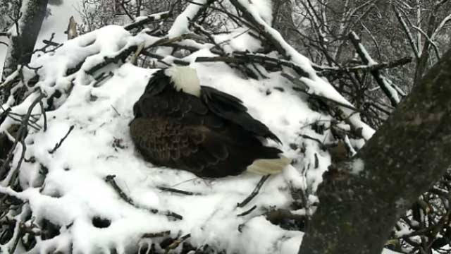 nesting bald eagles in Washington DC_258105