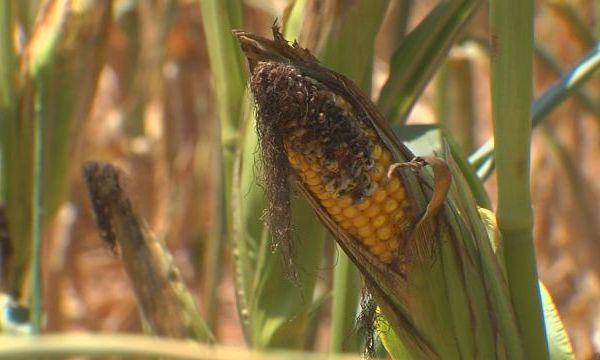drought, dead corn_302596