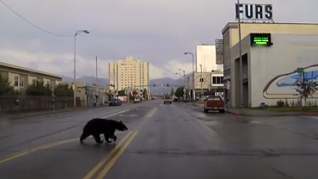 bear chase in Alaska_319835