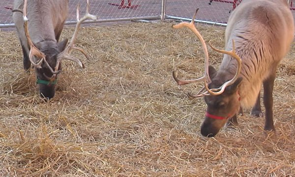 reindeer at cheekwood_335316