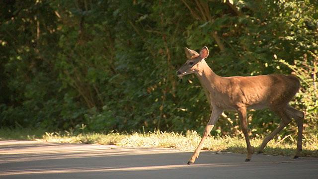 Deer_335647