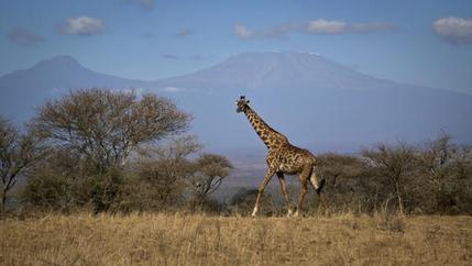 Kenya Disappearing Giraffes_342981