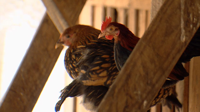 Chickens Generic_382709