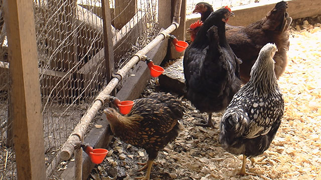 Chickens Generic_382710