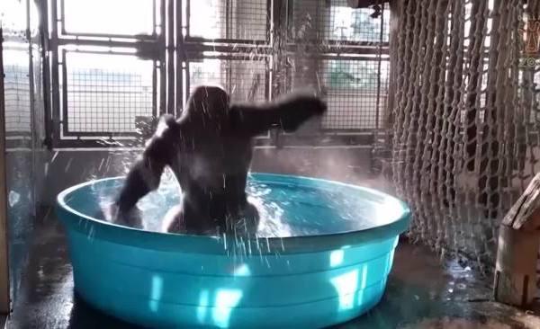 Dancing gorilla_420044