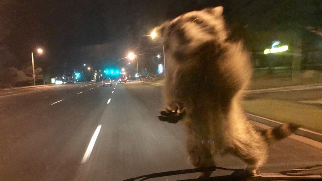 raccoon ride along_446806