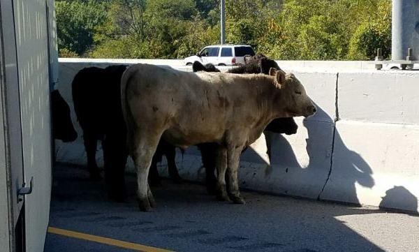 cow crash 2_451993