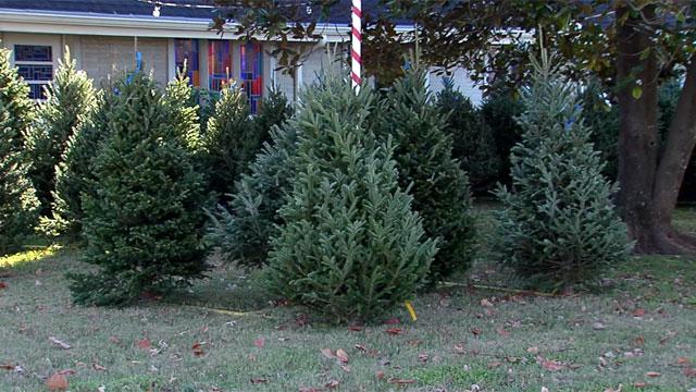 christmas trees_463456