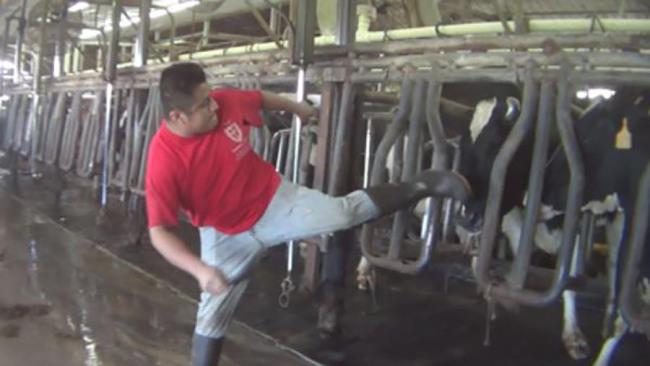 Dairy farm abuse_459529