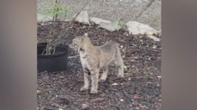 Young bobcats spotted in Cool Springs neighborhood