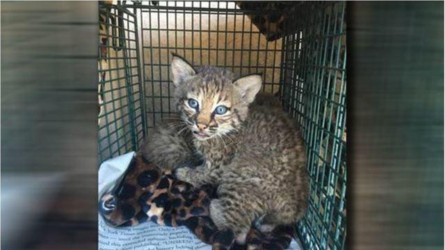 Bobcat cubs mistaken for kittens