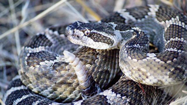 rattle snake_1527001383493.jpg_43159219_ver1.0_640_360_1528058716166.jpg.jpg