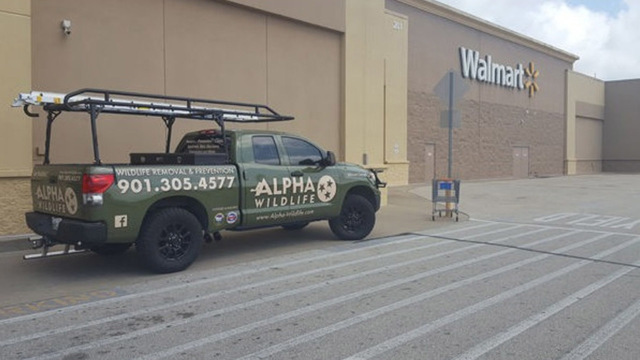 Raccoon in West Tennessee Walmart