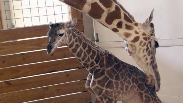 April the giraffe_401386
