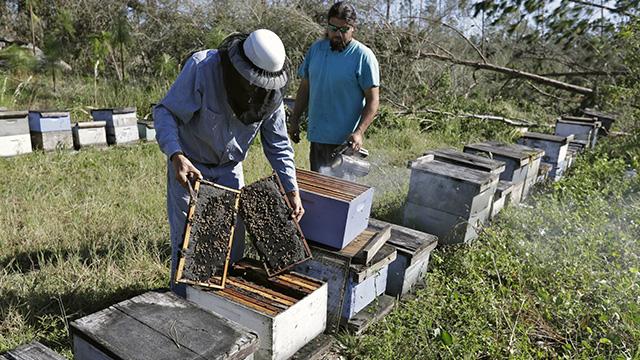 Tupelo honey bees