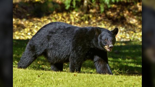 Black bear generic_1541461750609.jpg.jpg