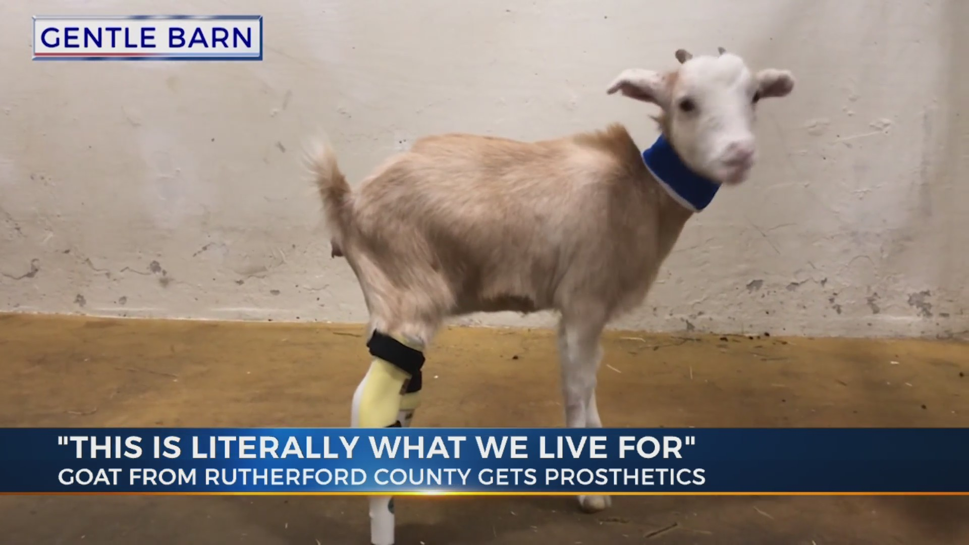 Lolli_the_goat_gets_new_feet_0_20181109054047