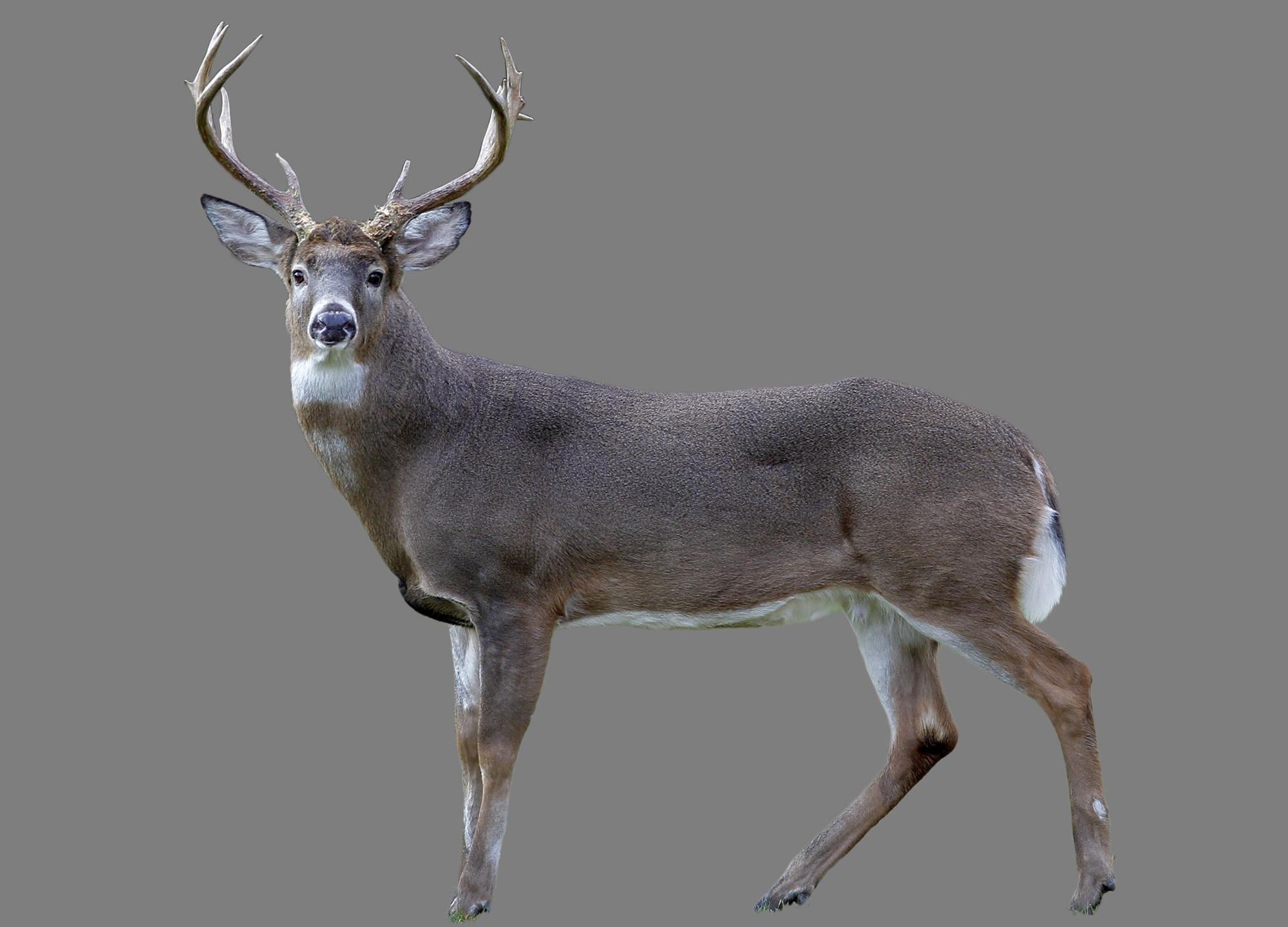 White tail deer_1544896382916.jpg.jpg