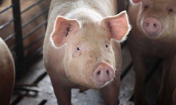 generic-pigs_1544030158396.jpg