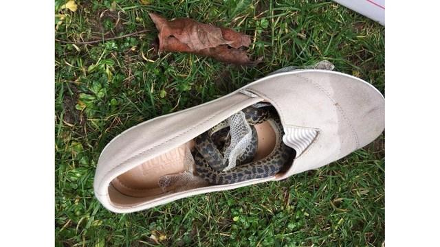 Python shoe_1551112212591.jpg_74788452_ver1.0_640_360_1551141649905.jpg.jpg