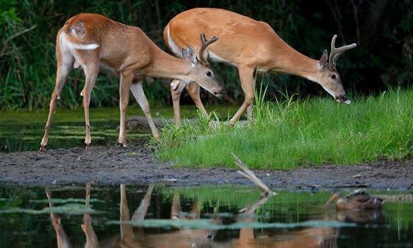 deer generic