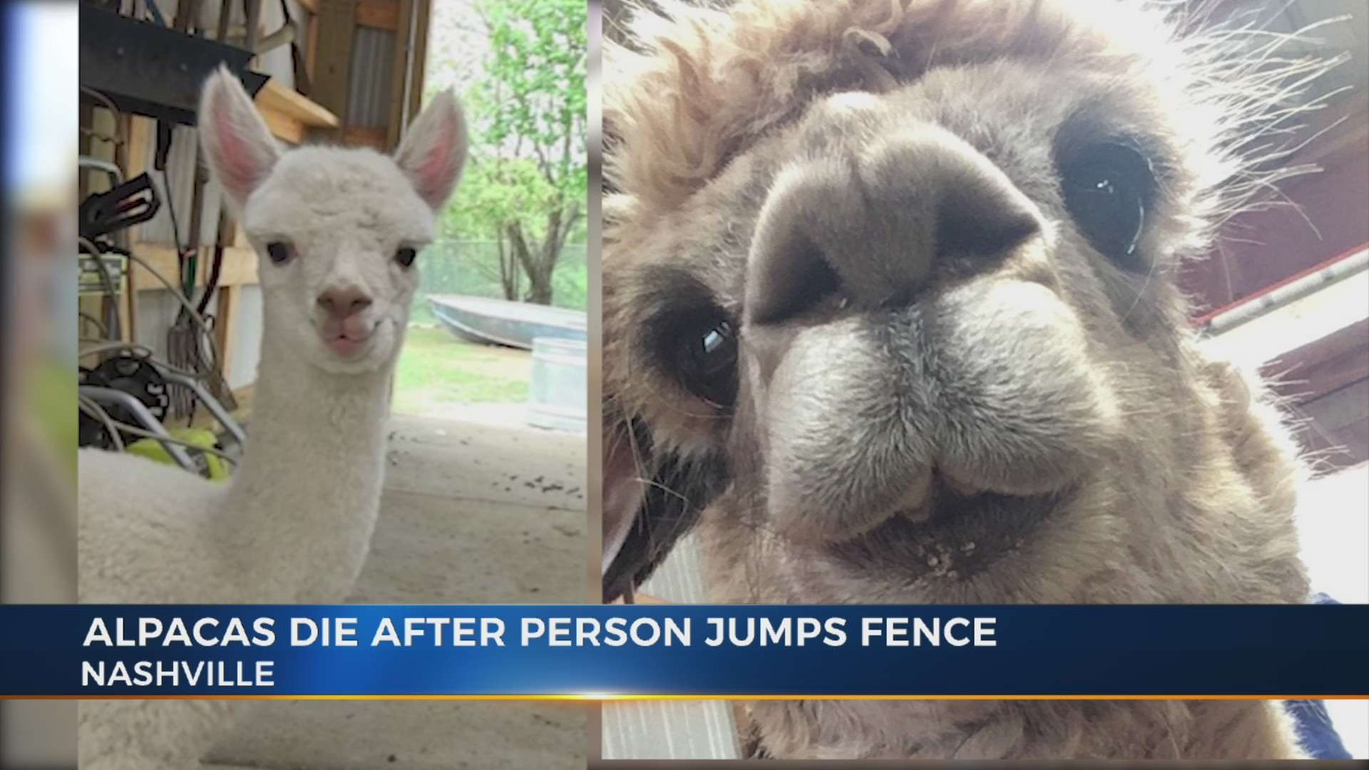 Alpacas_die_after_someone_jumps_fence_0_20190311215628