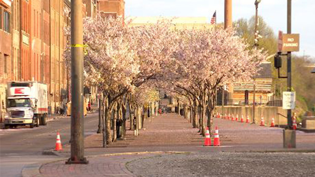 cherry blossom trees web_1553961302823.jpg.jpg