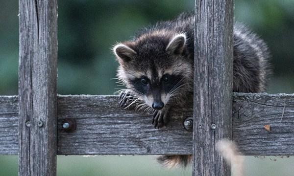 raccoon generic