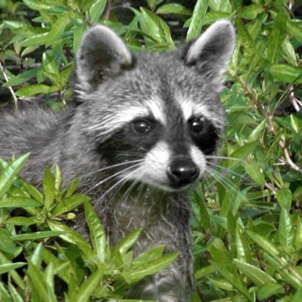 raccoon_1553926334133.jpg