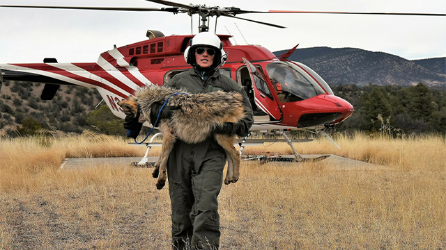 gray wolf recovery team