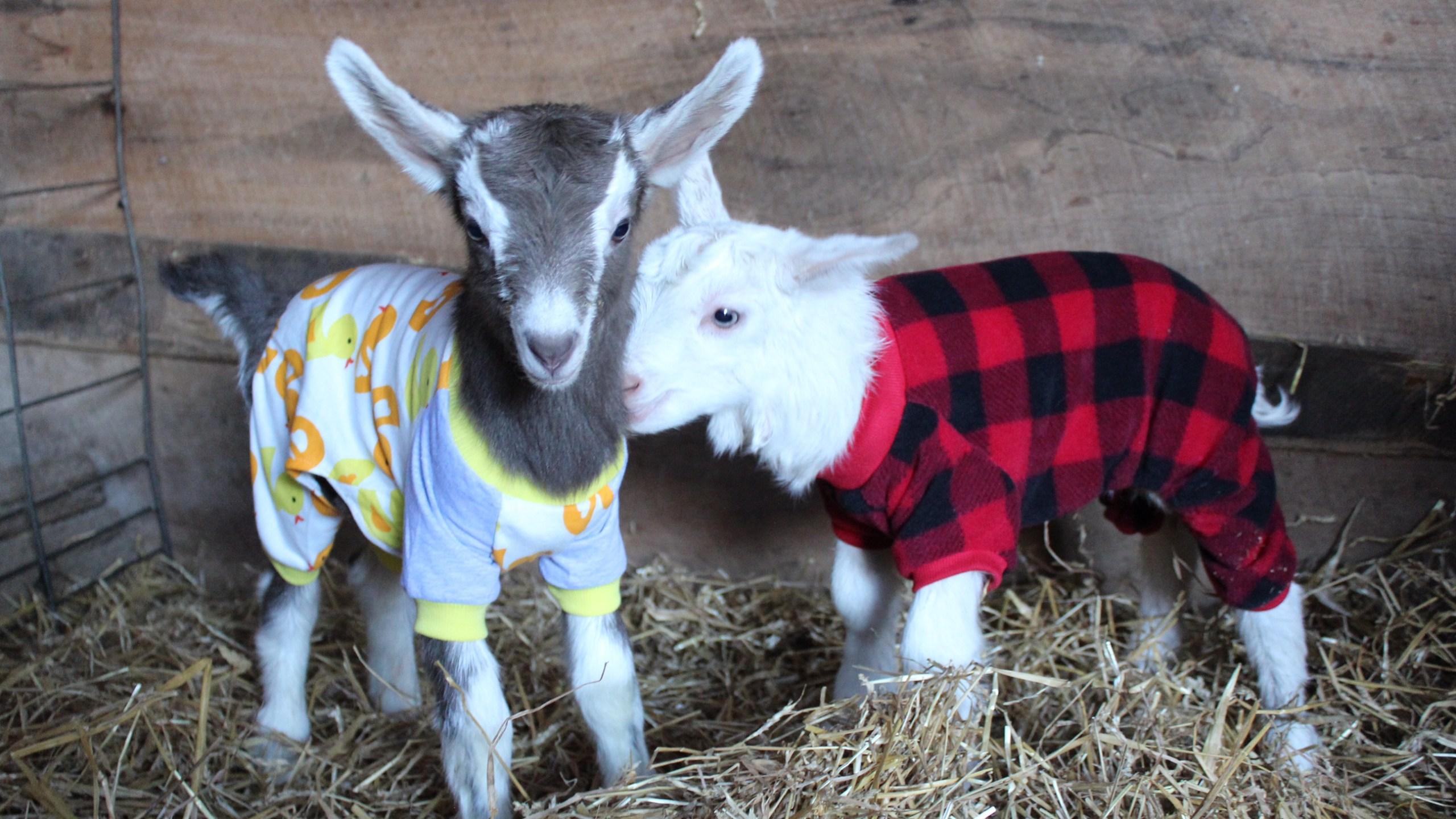 Goats in PJs_1554588020699.JPG.jpg