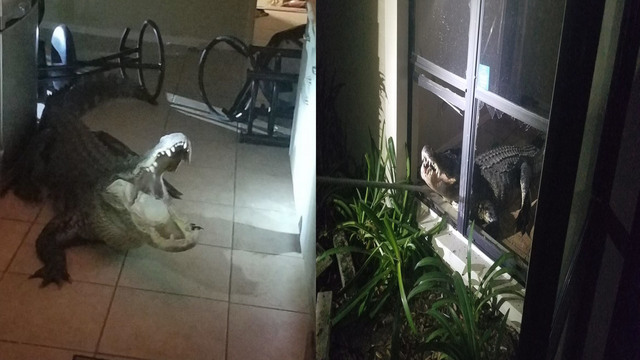Gator breaks into home