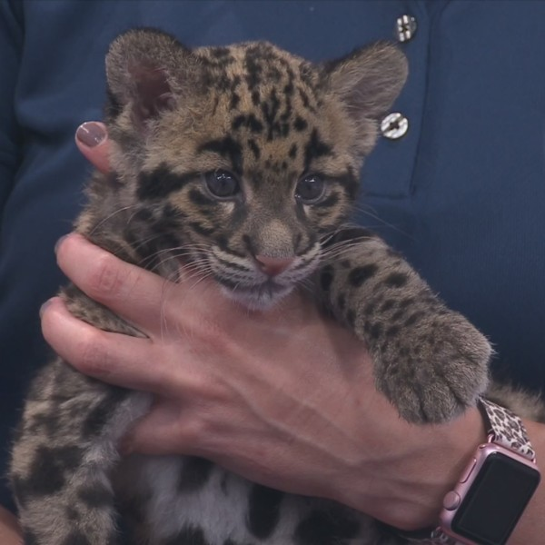Go see the clouded leopards at the Nashville Zoo