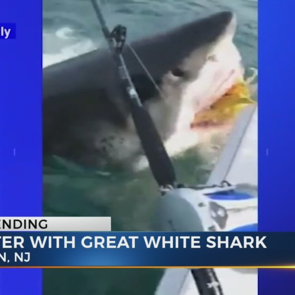 Fishermen watch as great white shark makes off with bait