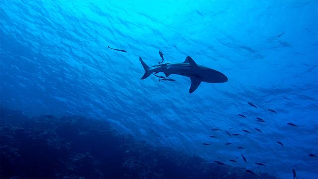 shark generic