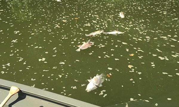 Dead fish in Kentucky River