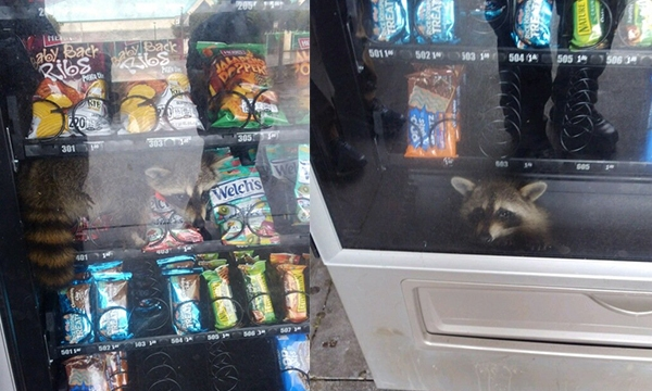 Raccoon in vending machine