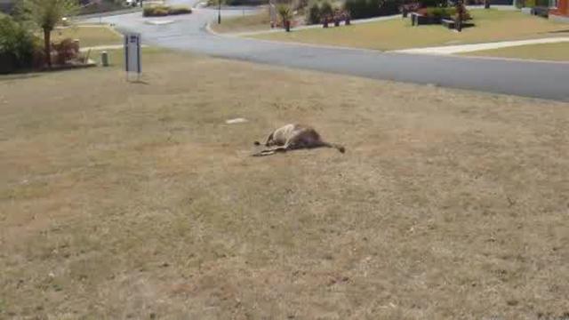 kangaroo hit-and-run spree