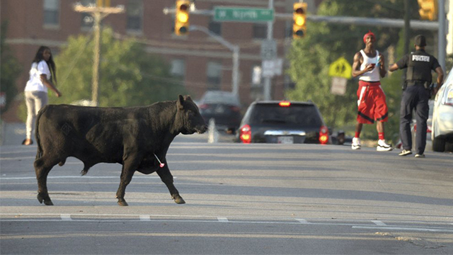 Baltimore bull