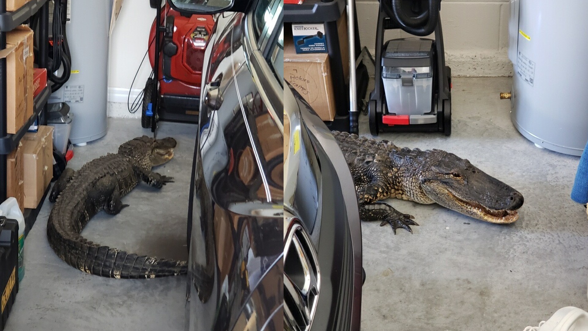 7-foot alligator sneaks into Florida home