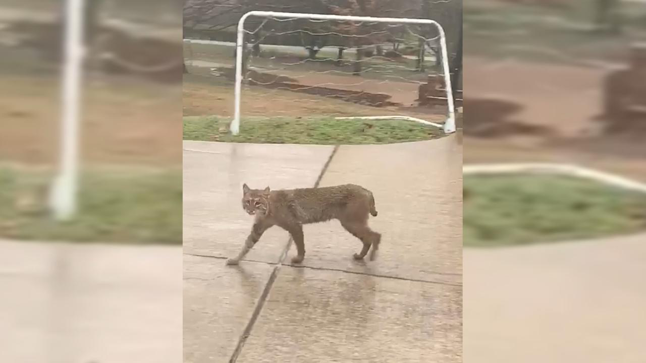 Bobcat in Forest Hills