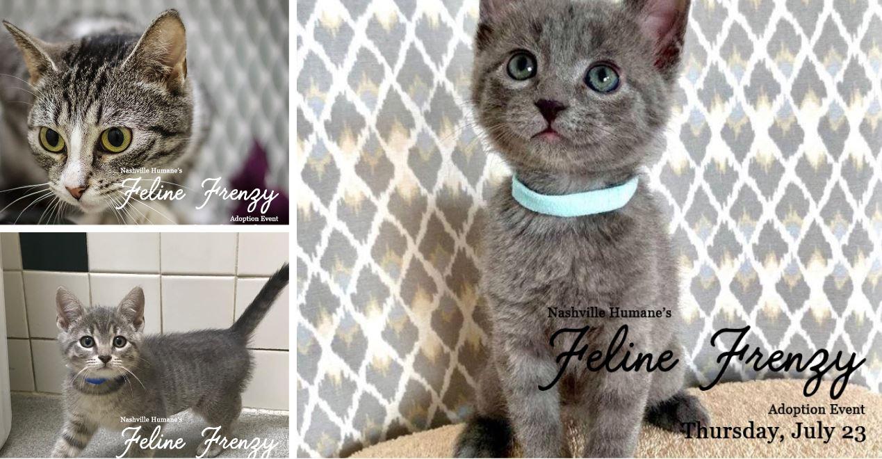 Nashville Humane Association Plans Feline Frenzy Adoption Event Wkrn News 2