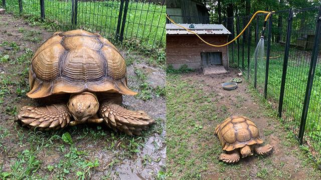 Solomon the tortoise