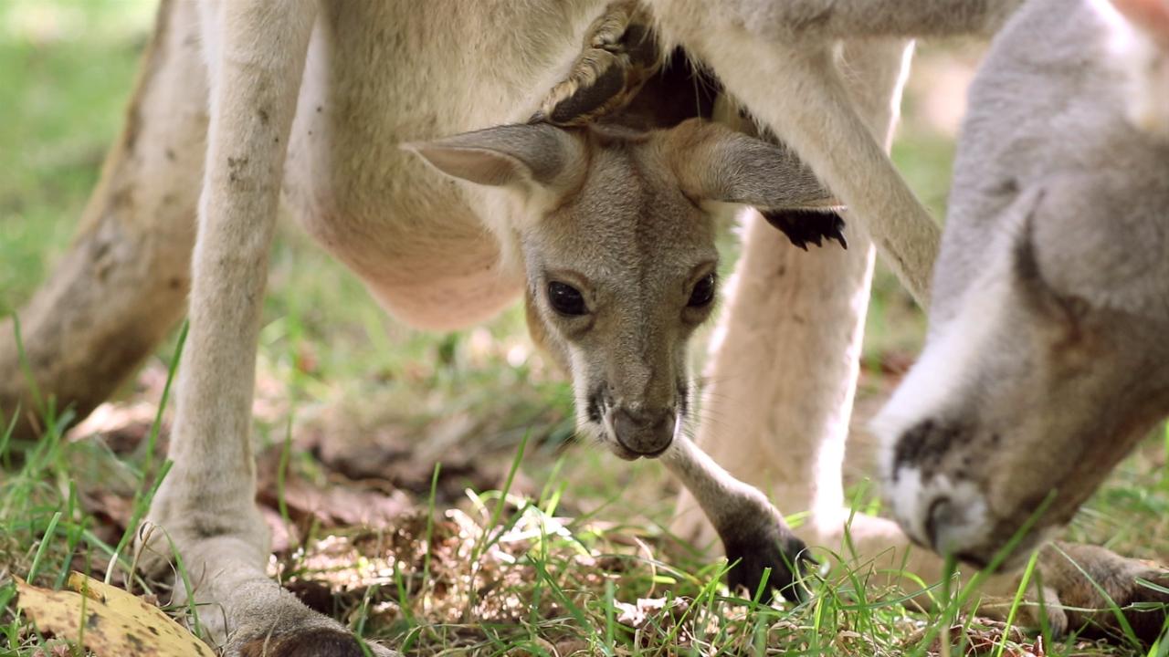 Nashville Zoo Joey
