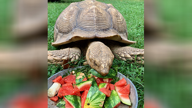 150-Pound Tortoise Missing From Cheatham County Found Safe