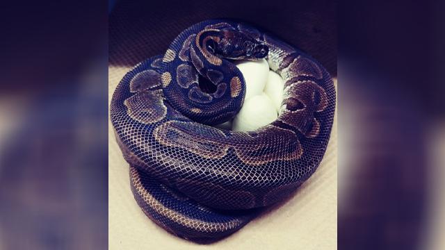 St. Louis python