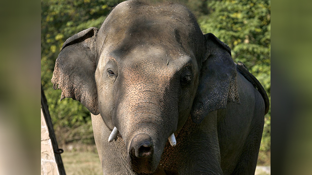 Pakistan elephant
