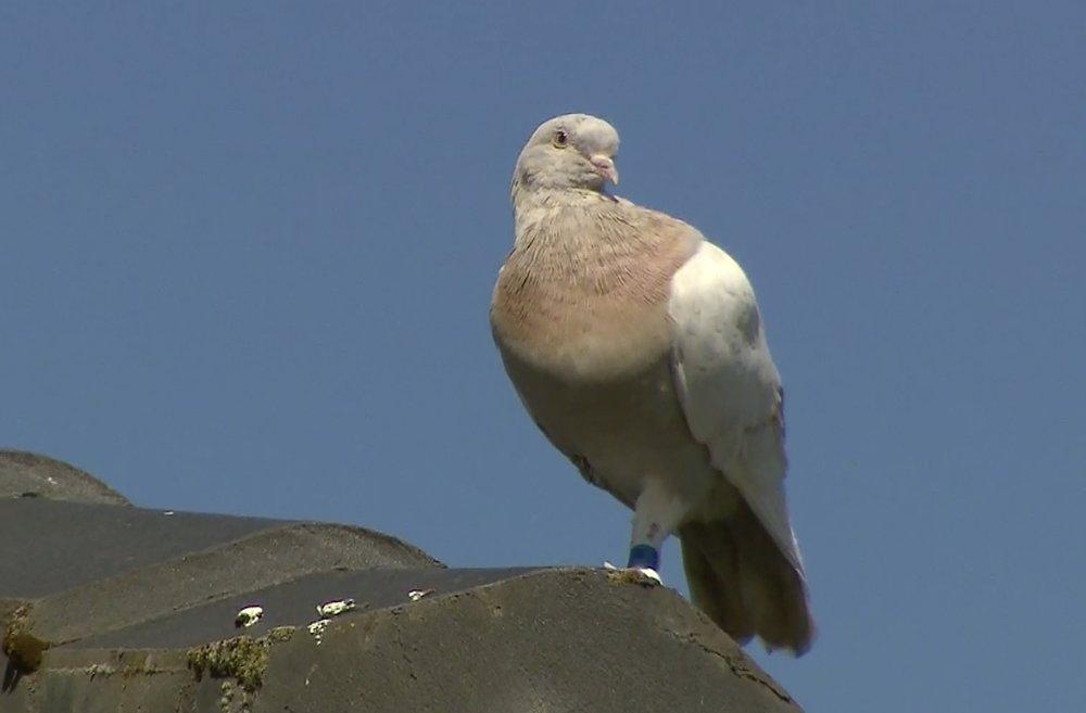 Australia pigeon