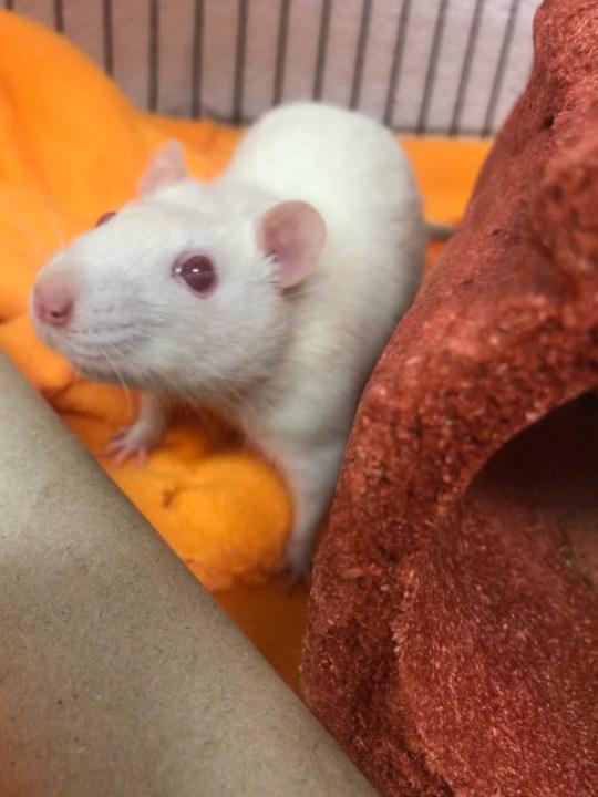 MACC rat