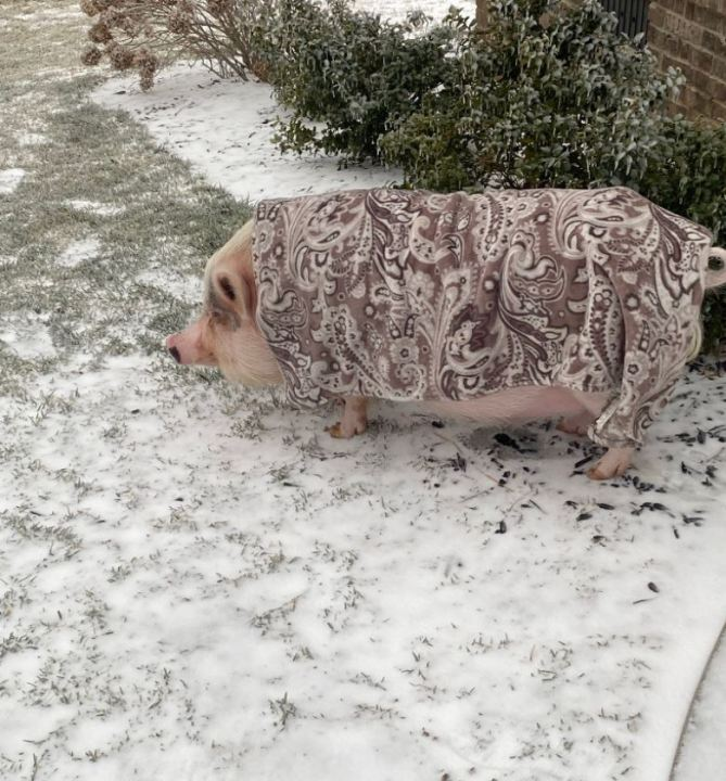 Beckman the pig in Clarksville (Courtesy: Jared Cassady)